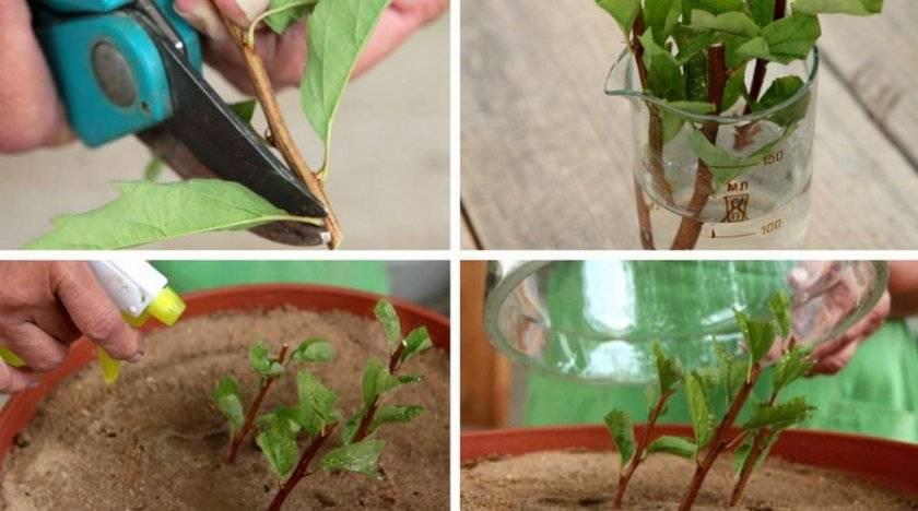 Размножение спиреи черенками весной