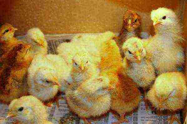 Как и чем кормить вылупившихся цыплят?
