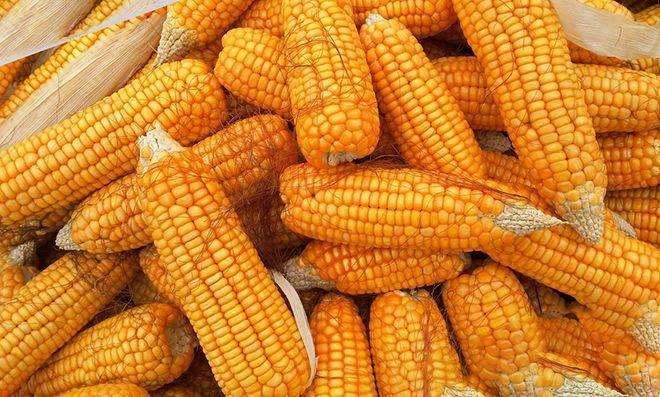 Как вырастить кукурузу на своем участке