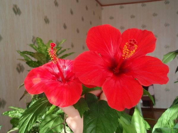 Гибискус или китайская роза — диковинка домашнего интерьера