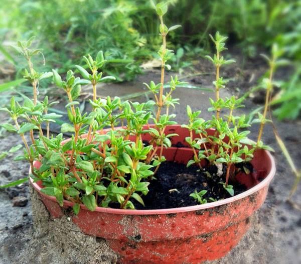 Тимьян: выращиваем чабрец для грядки и дома