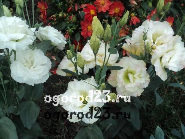 Эустома: посадка в открытый грунт,выращивание,размножение,фото,видео.