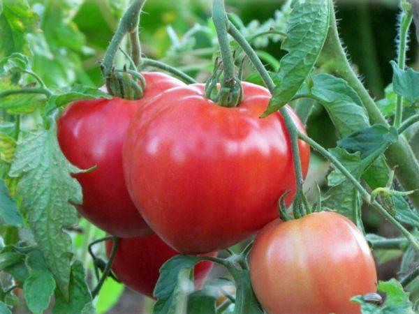 Лидер среди лучших — томат «батяня»: характеристика и описание сорта, фото