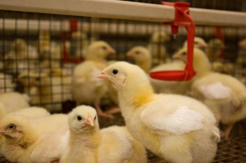 Байкокс: инструкция по применению для цыплят бройлеров