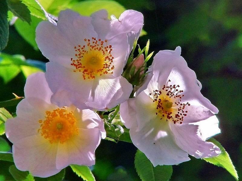 Как и когда цветет амброзия?