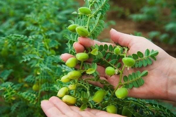 Горох нут — полезные свойства и выращивание