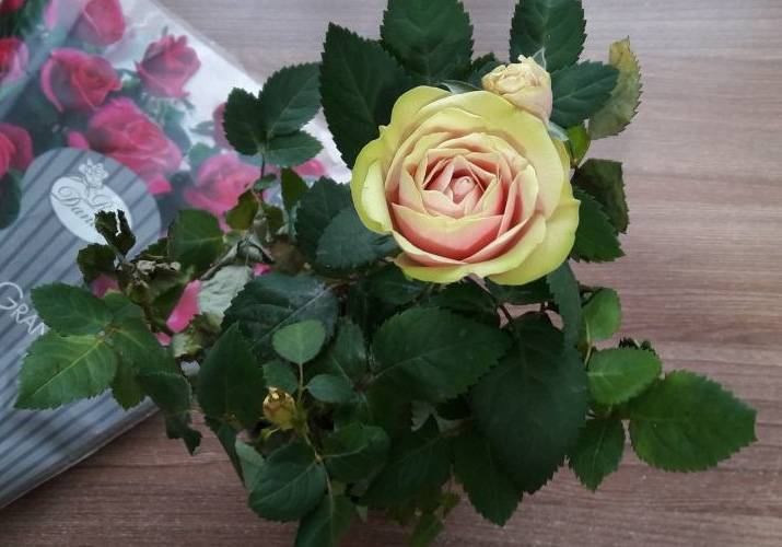 Домашняя роза засыхает! почему комнатный цветок сбрасывает листья и бутоны, что с этим делать?