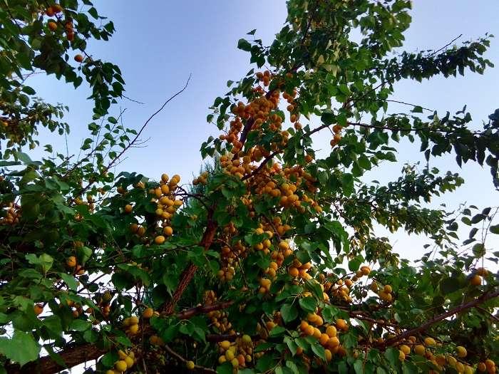 Жердела и абрикос — в чем разница? давайте разбираться вместе!