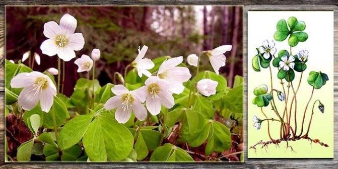 Комнатный цветок кислица. фото, уход и размножение