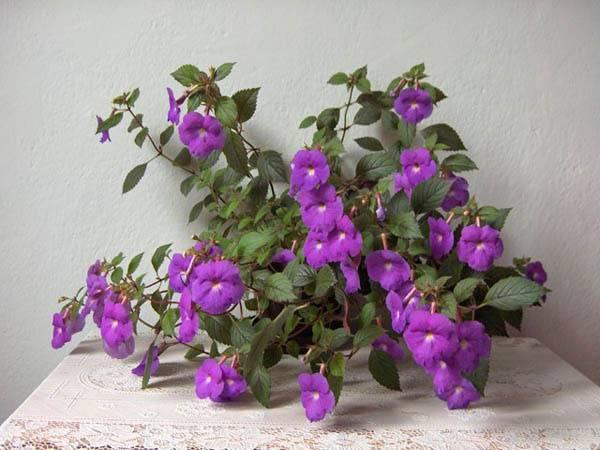 Ахименесы: цветущее великолепие с весны до осени