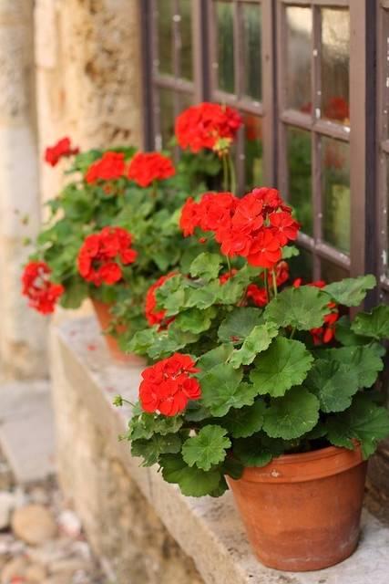Какой уход в домашних условиях требуется роскошной королевской герани? советы для здоровья и пышного цветения