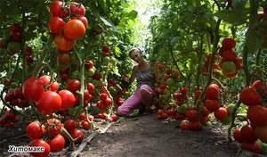 Благоприятные дни для посадки томатов в теплицу из поликарбоната в 2020 году по луне
