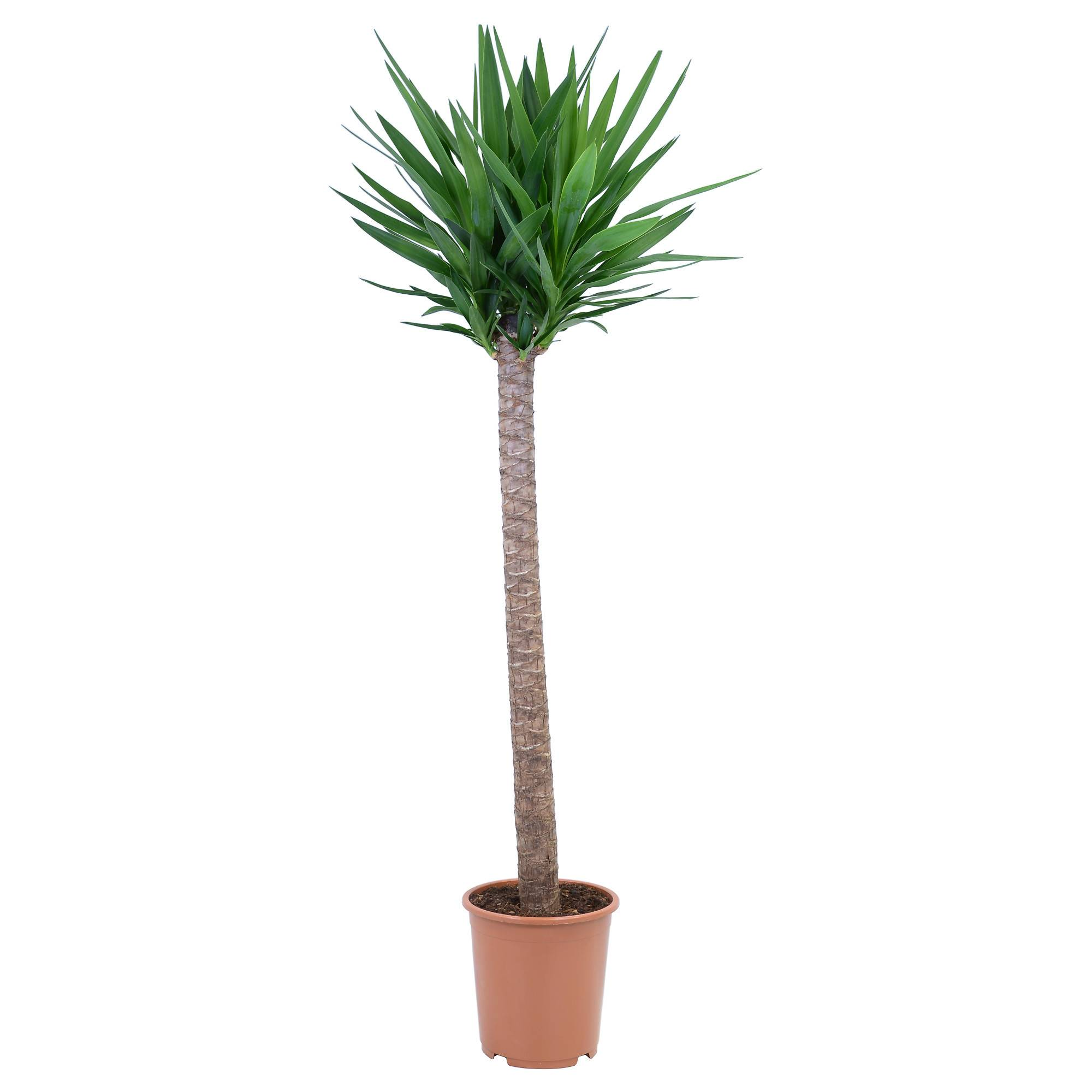 Ложная пальма юкка: способы размножения, правильная посадка