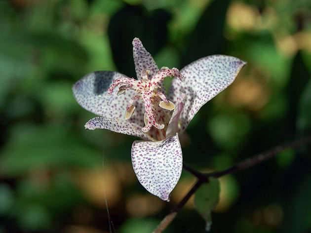 Трициртис – садовая орхидея: посадка, выращивание и уход в открытом грунте