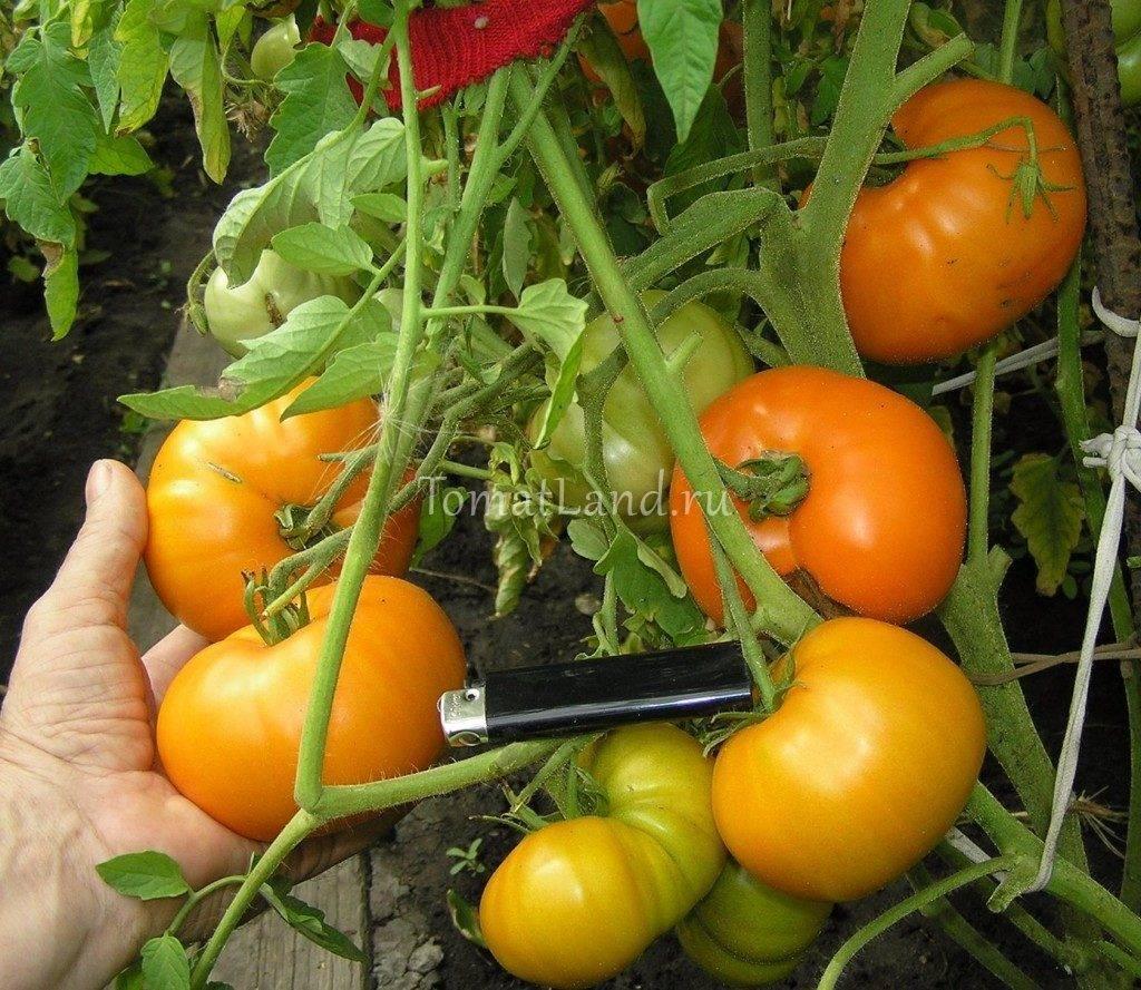 Солнечный и сладкий томат Хурма: характеристика и описание сорта