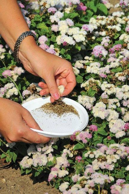 Алиссум из семян в домашних условиях посадка рассады и уход в открытом грунте
