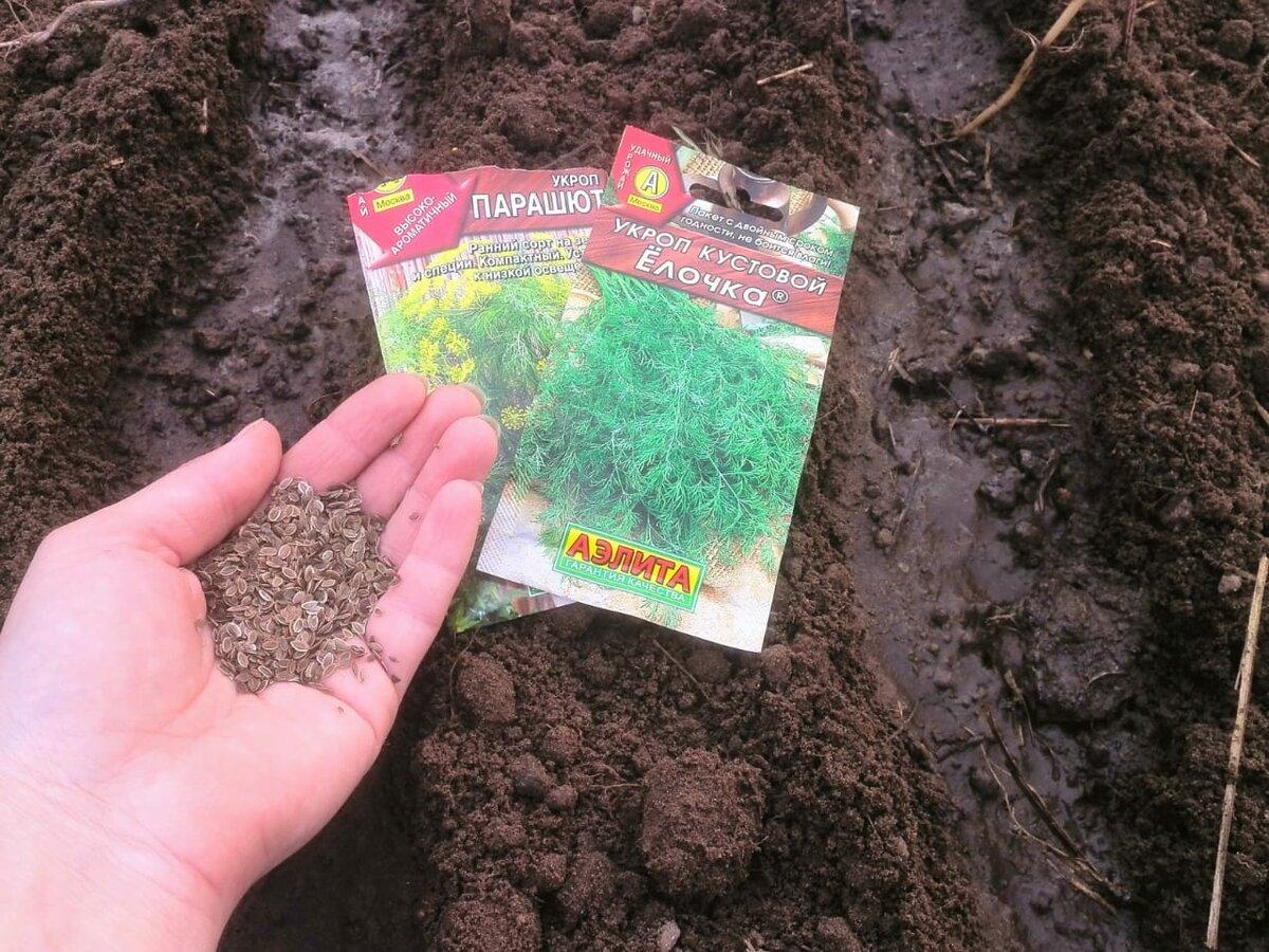 Когда и как сажать укроп и сколько дней он всходит — советы по выращиванию