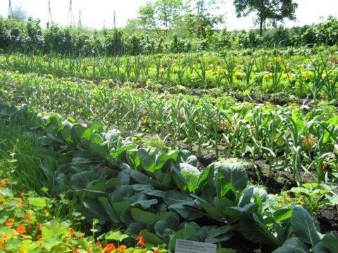 Настурция: выращивание из семян в саду