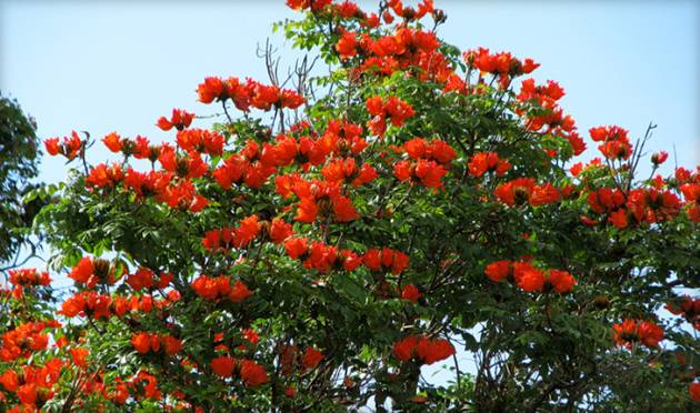 Тюльпановое дерево: описание, особенности посадки и ухода