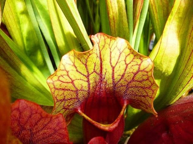 5 хищных растений, которые можно вырастить дома