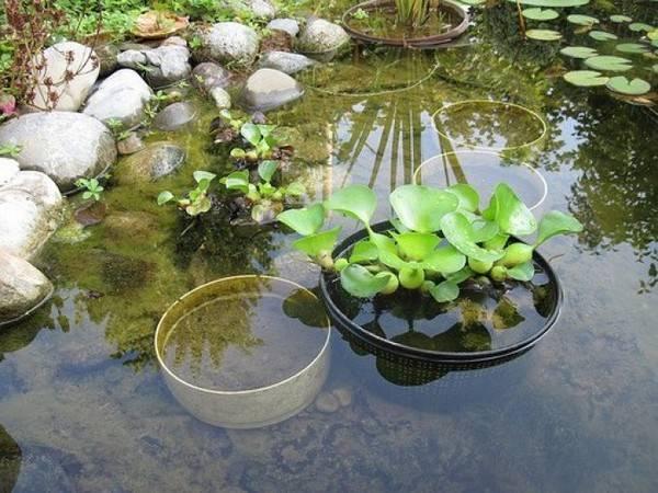 Водяной гиацинт: выращивание эйхорнии в аквариуме и пруду