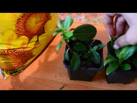 Размножение рододендронов