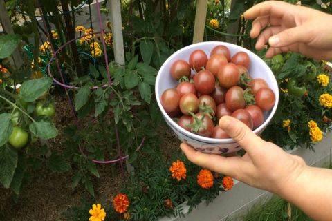 Выращиваем помидоры черри, сорта и уход