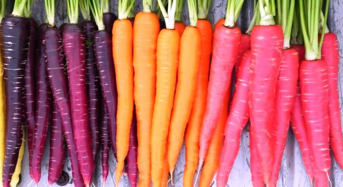 Самые лучшие сорта моркови для открытого грунта, хранения, ранние, крупные
