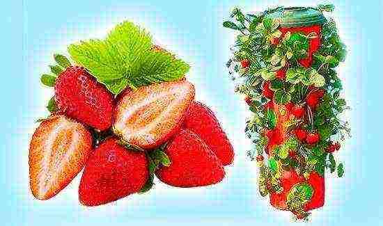 Правила посадки и выращивания клубничного дерева
