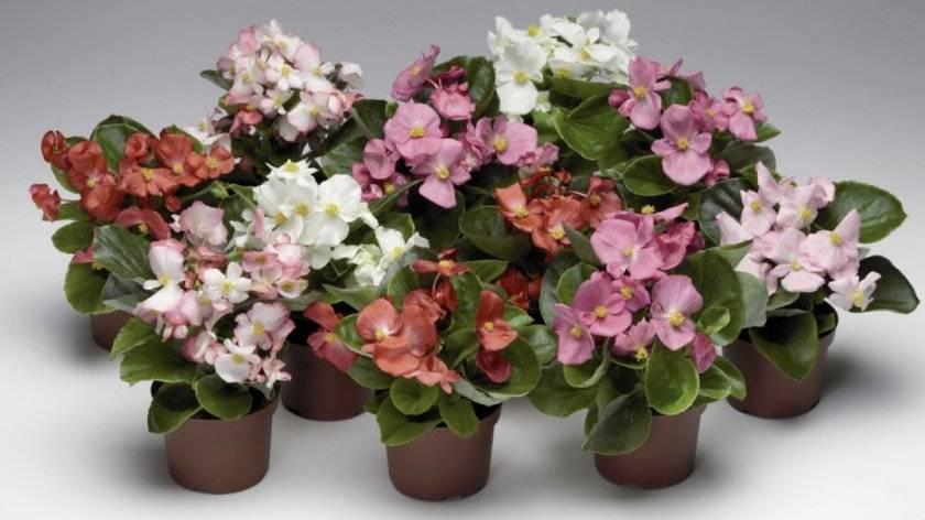 Цветок бегония — размножение в домашних условиях