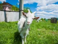 Как правильно доить козу: сколько раз, время, когда прекращать. правильно доим козу. всё о доении с фото и видео.