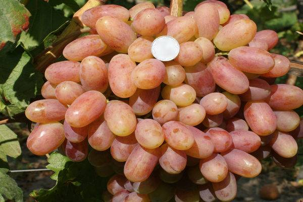 Преображение — самоопыляемый сорт винограда