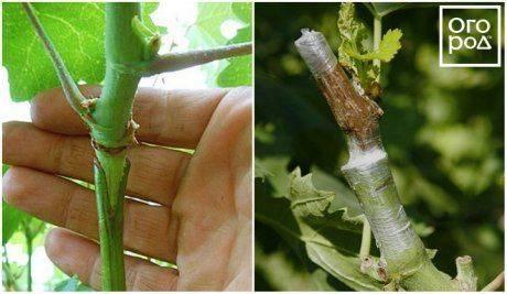 Прививка плодовых деревьев весной для начинающих: сроки, время и лучшие способы