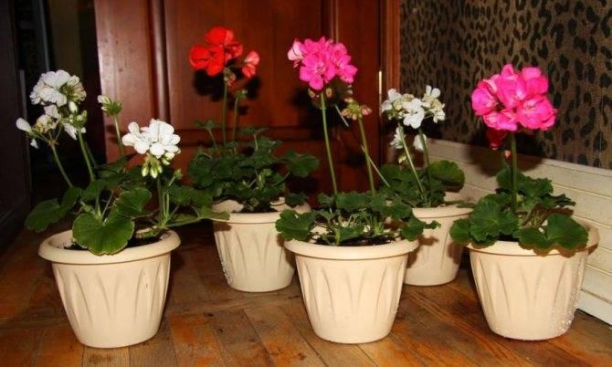 Cемена пеларгонии: когда делать посев, как пошагово посадить и вырастить в домашних условиях в торфяных таблетках, как выглядят на фото?