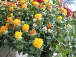 Сафлор как медонос для пчел. польза для пчеловодства. выращивание и уход и все об этом
