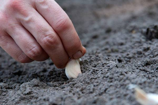 Посадка редиса в открытый грунт весной
