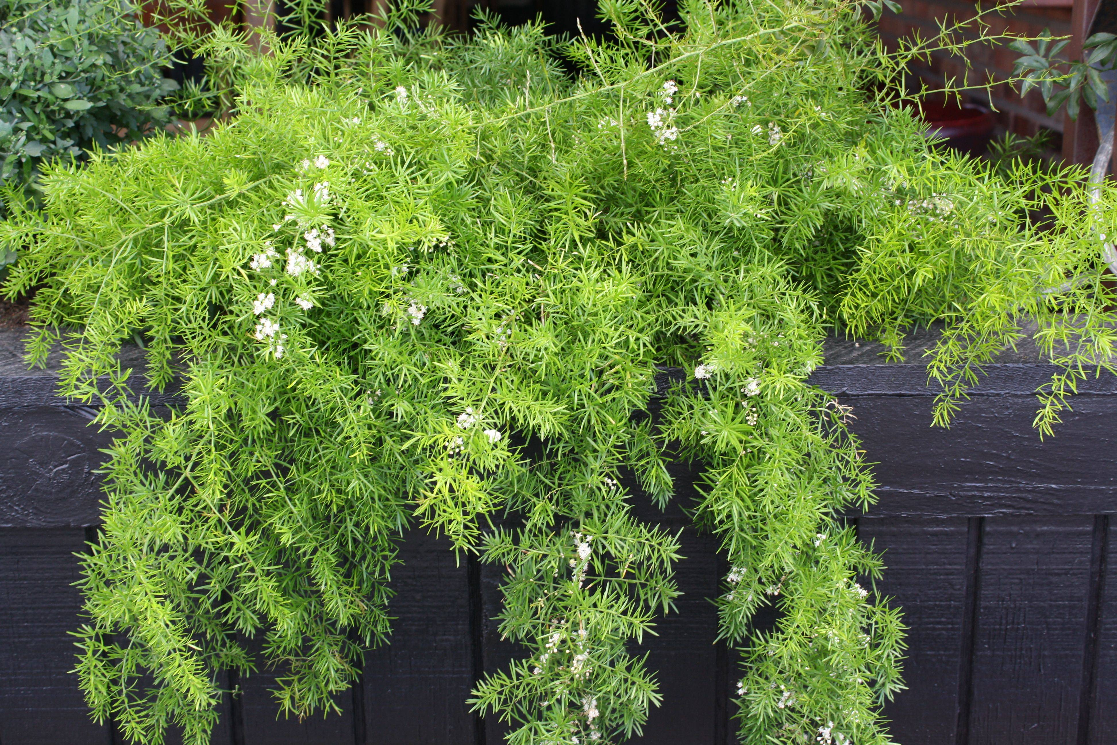 Описание и фото комнатного растения аспарагус шпренгера