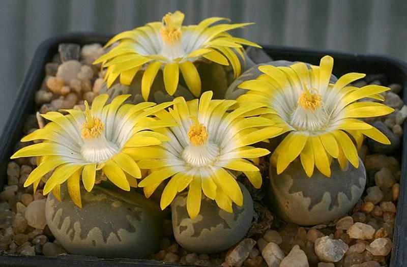 Фото видов литопсов живых камней + видео