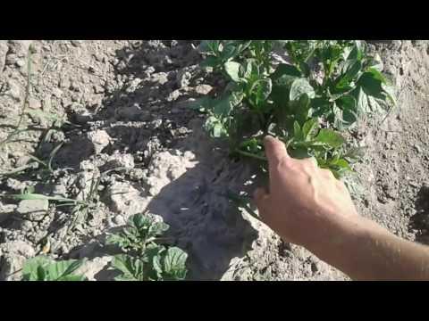 Правильное окучивание картофеля - секрет щедрого урожая!