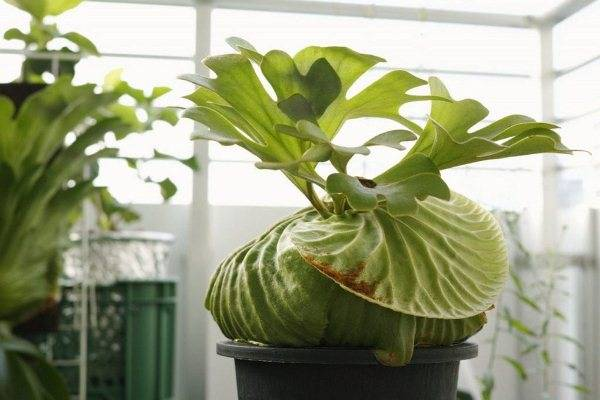 Цветок платицериум: уход и размножение в домашних условиях