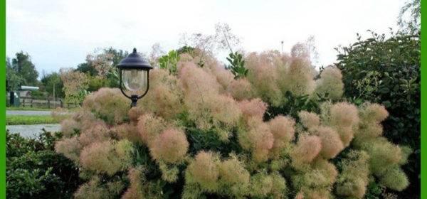 Агротехника выращивания и размножения скумпии и описание сортов кустарника с фото