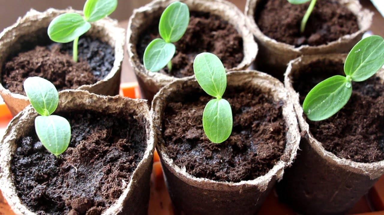 Видео: как выращивать рассаду огурцов