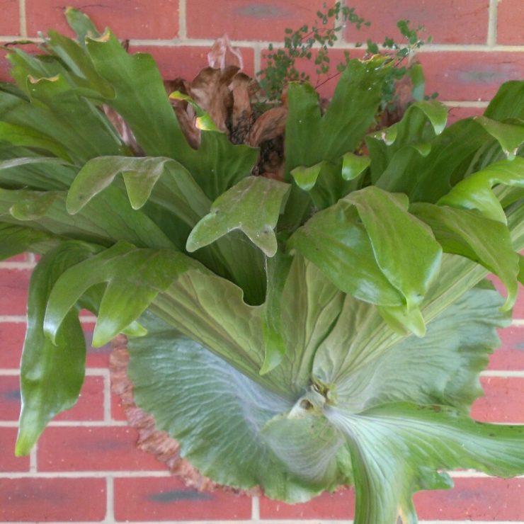 Платицериум: выращивание и уход за клеродендрумом в домашних условиях