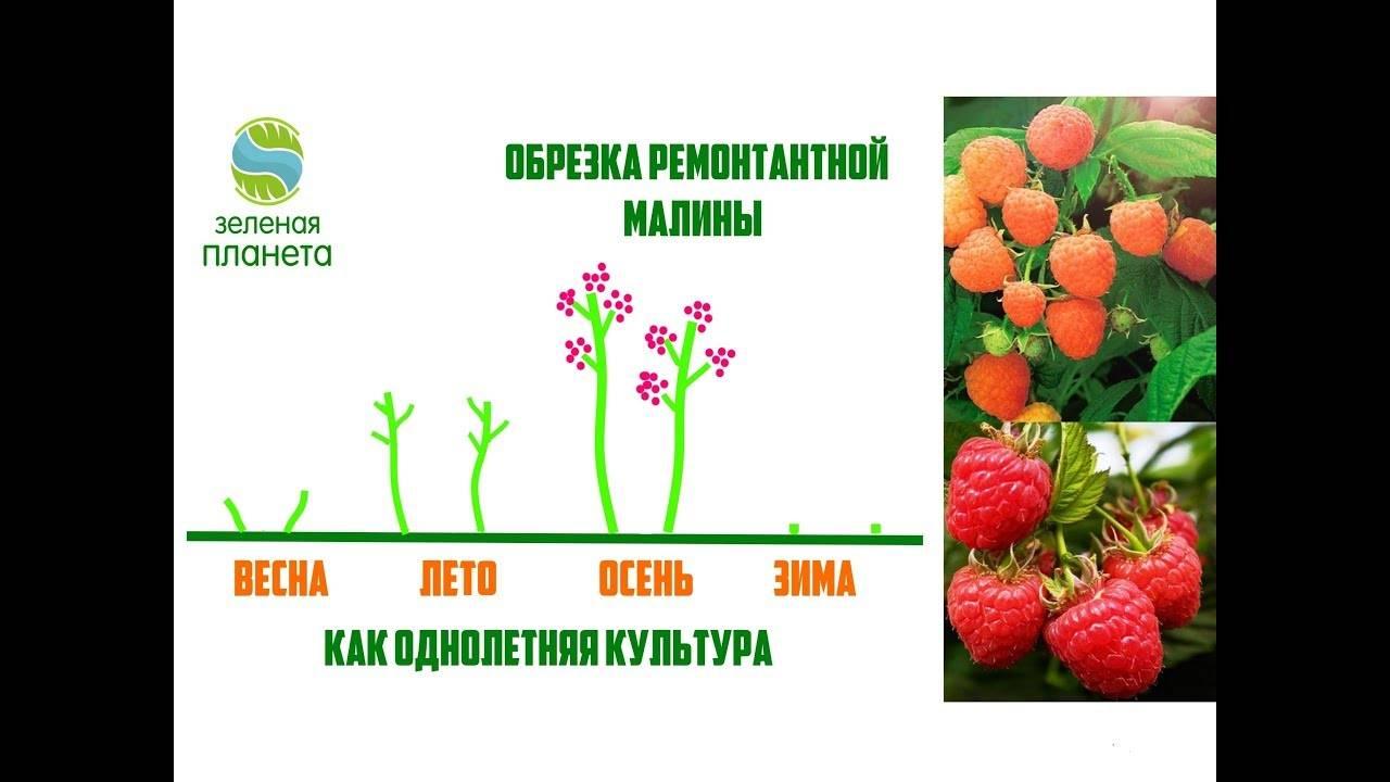Как вырастить малину правильно: схема посадки и уход, подготовка почвы