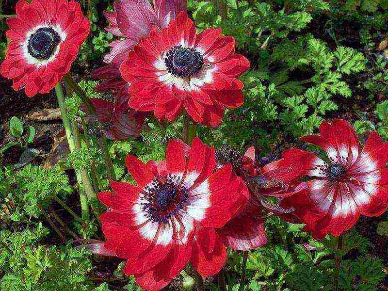Анемоны — выращивание и уход в открытом грунте