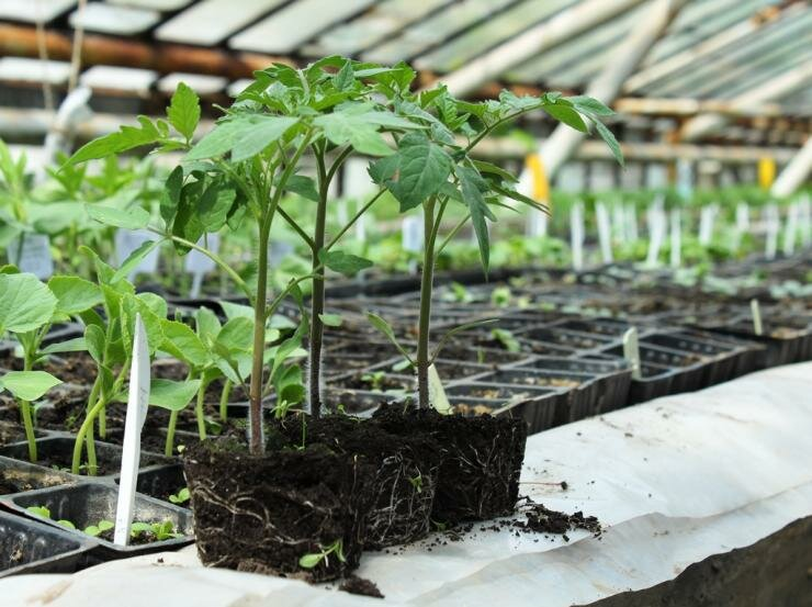Возможно ли вырастить рассаду без грунта?