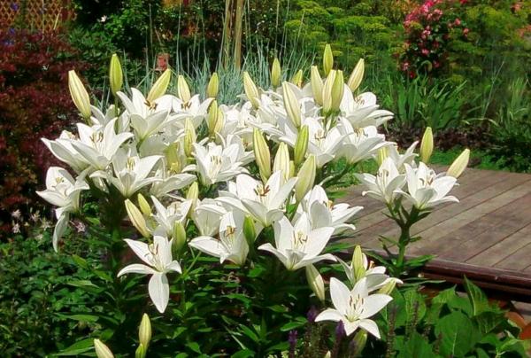 Лилии в саду: особенности посадки и ухода