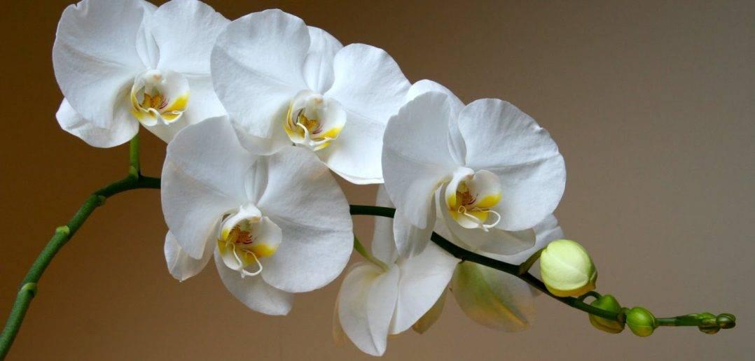 Важнейший вопрос: нужно ли опрыскивать орхидею фаленопсис?