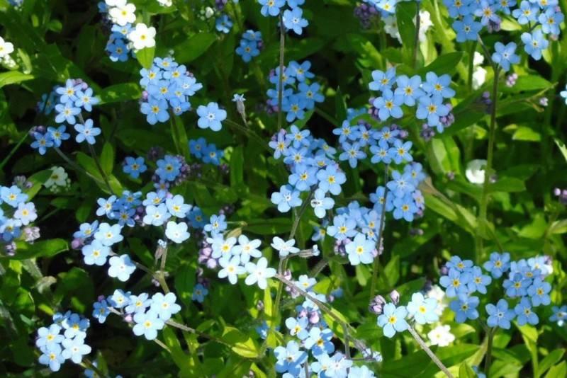 Амарант: фото, описание, разновидности, выращивание и уход