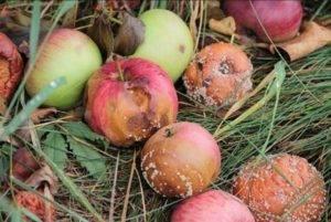 Почему гниют яблоки на яблоне и что делать